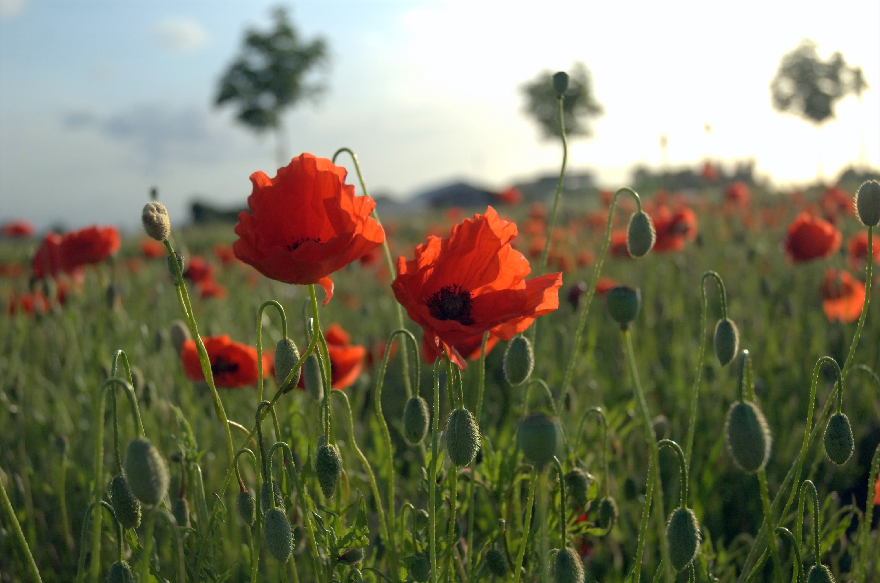 Poppies_Field_in_Flanders.jpg